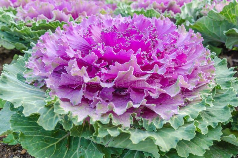 Kleurrijke bloemkool royalty-vrije stock foto