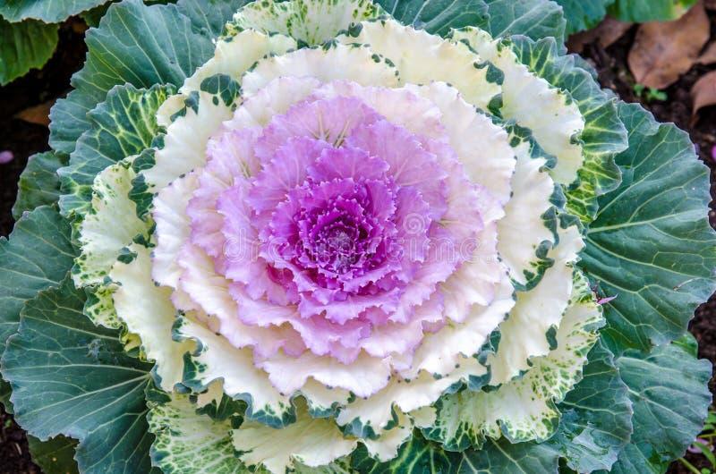 Kleurrijke bloemkool royalty-vrije stock foto's