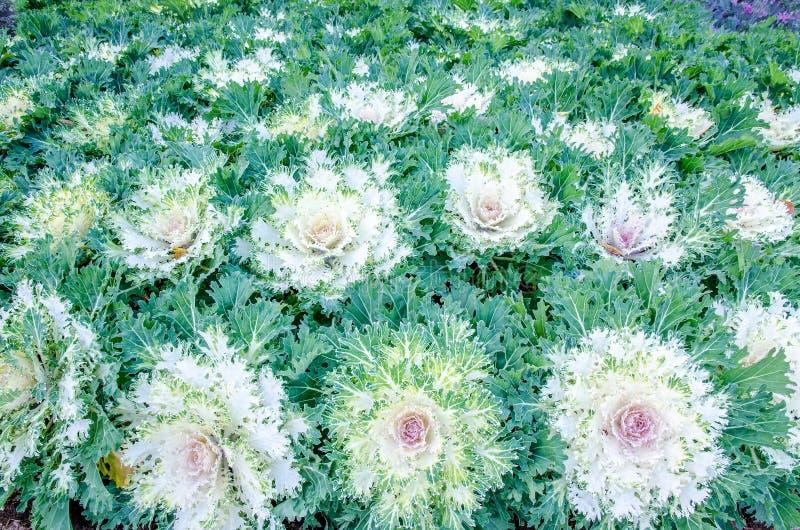 Kleurrijke bloemkool royalty-vrije stock afbeelding
