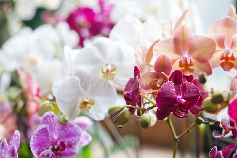 Kleurrijke bloemorchideeën De mooie close-up van de orchideebloemen van Orchidaceae Phalaenopsis roze, rode, violette Ondiepe die royalty-vrije stock foto's
