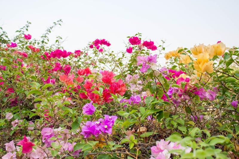 Kleurrijke bougainvillea royalty-vrije stock afbeeldingen