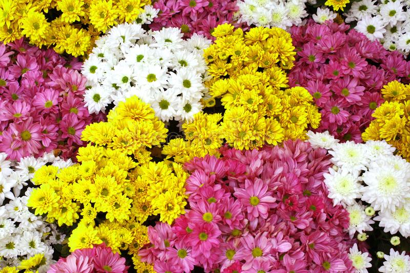 Kleurrijke Chrysantenbloemen die op achtergrond bloeien royalty-vrije stock foto's