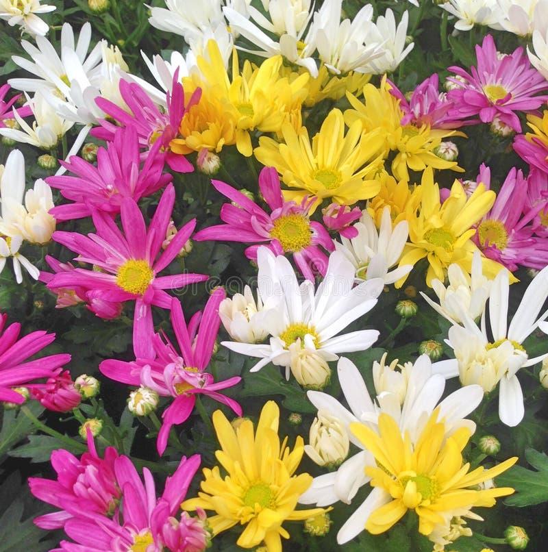 Kleurrijke Chrysantenmadeliefjes op een gebied stock afbeelding
