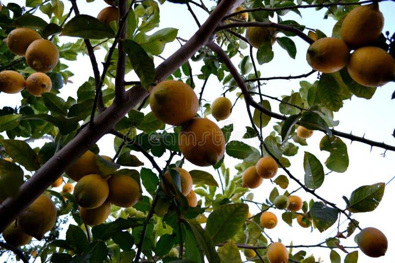 Kleurrijke citroenboom stock fotografie