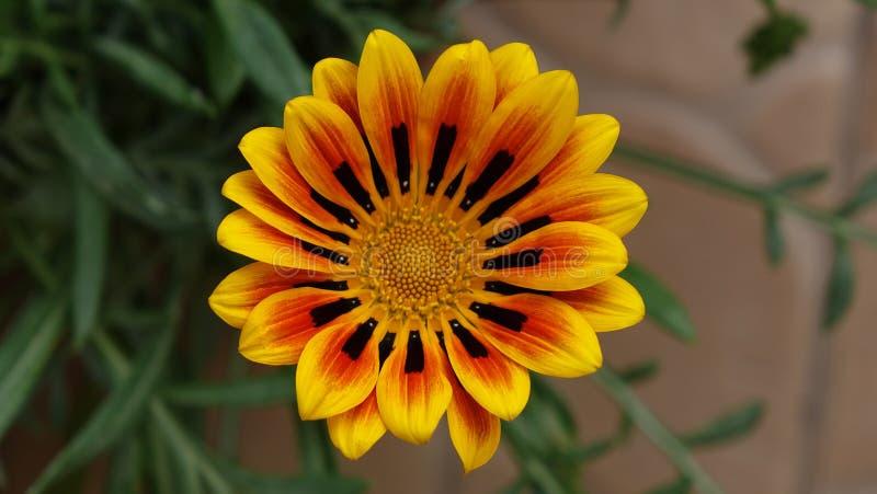 Kleurrijke close-up van de Gazania de ontzagwekkende bloem stock afbeeldingen