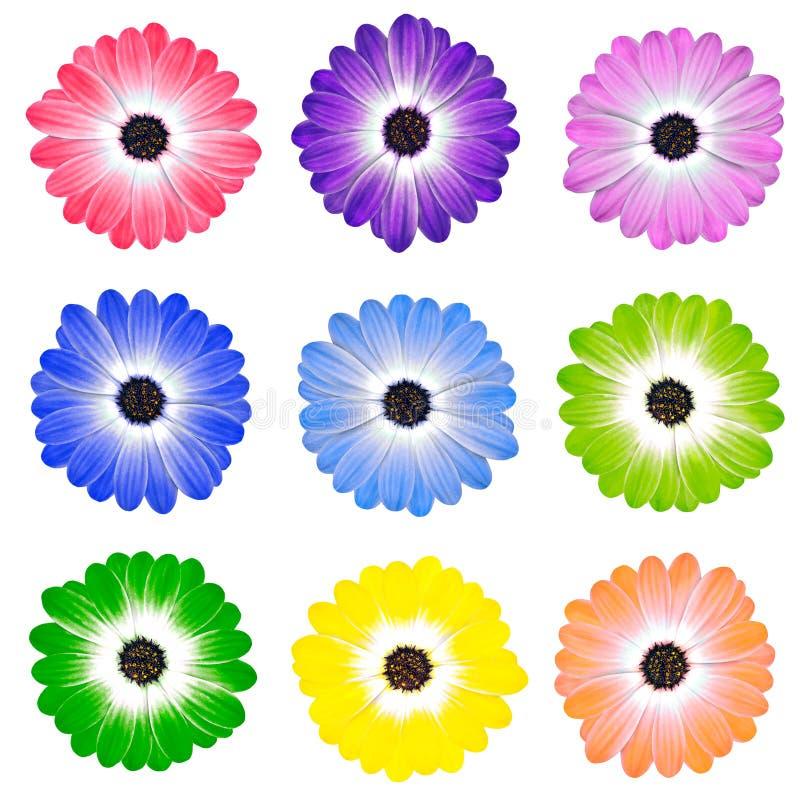 Kleurrijke Daisy Flowers Isolated op Wit stock afbeeldingen