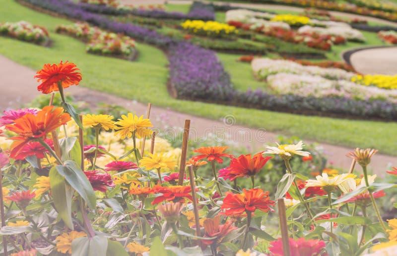 Kleurrijke de bloembloesem van Zinnia royalty-vrije stock afbeeldingen