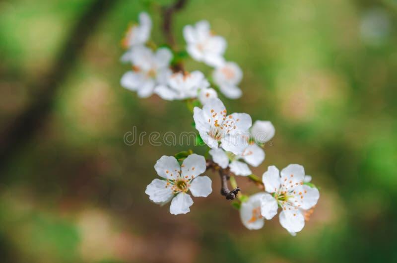 Kleurrijke de bloesemachtergrond van de de lentekers royalty-vrije stock foto