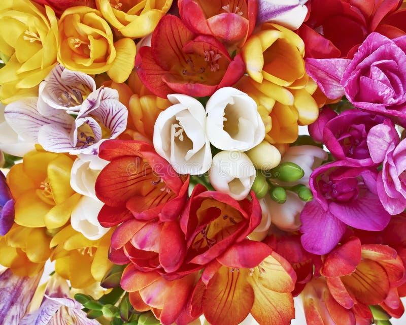 Kleurrijke de bos hoogste mening van fresiabloemen, natuurlijke achtergrond royalty-vrije stock afbeelding
