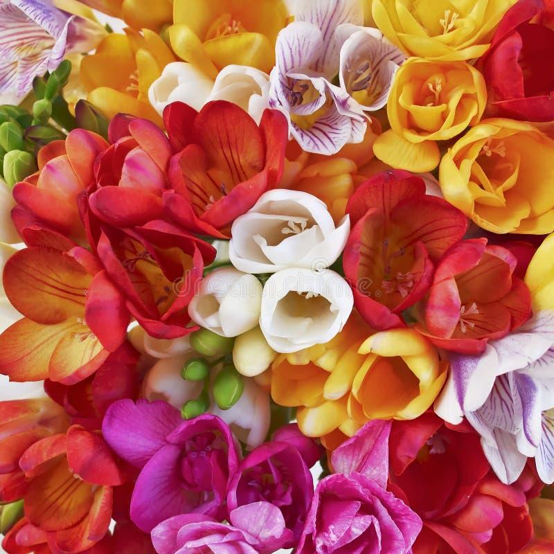 Kleurrijke de bos hoogste mening van fresiabloemen, natuurlijke achtergrond stock foto's