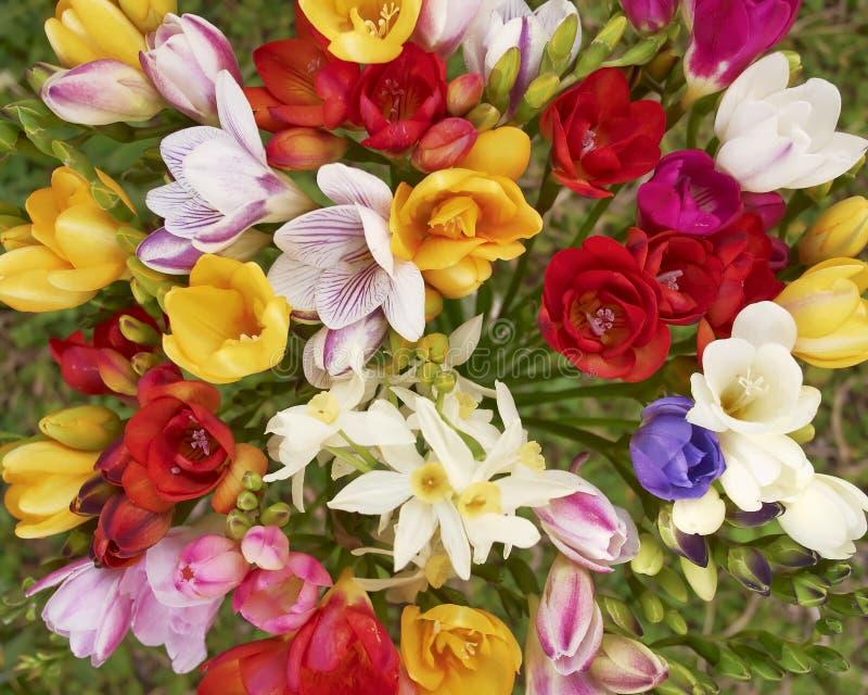 Kleurrijke de bosclose-up van fresiabloemen, natuurlijke achtergrond stock afbeeldingen