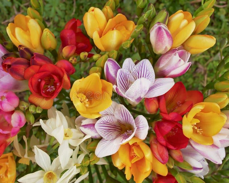 Kleurrijke de bosclose-up van fresiabloemen, natuurlijke achtergrond royalty-vrije stock afbeelding