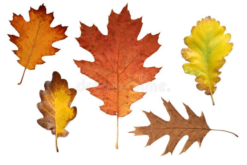 Kleurrijke de herfst eiken bladeren royalty-vrije stock afbeeldingen