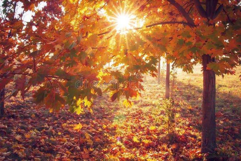 Kleurrijke de herfstachtergrond Zon door gele en rode bladeren van boom in zonsopgang De aard van de herfst Lange schaduwen en bl royalty-vrije stock afbeeldingen