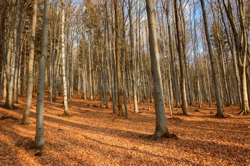 Kleurrijke de Herfstbladeren in een eiken bos royalty-vrije stock foto