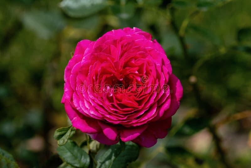 Kleurrijke dichte omhooggaand van één enkele roze grote purper nam hoofd toe stock fotografie