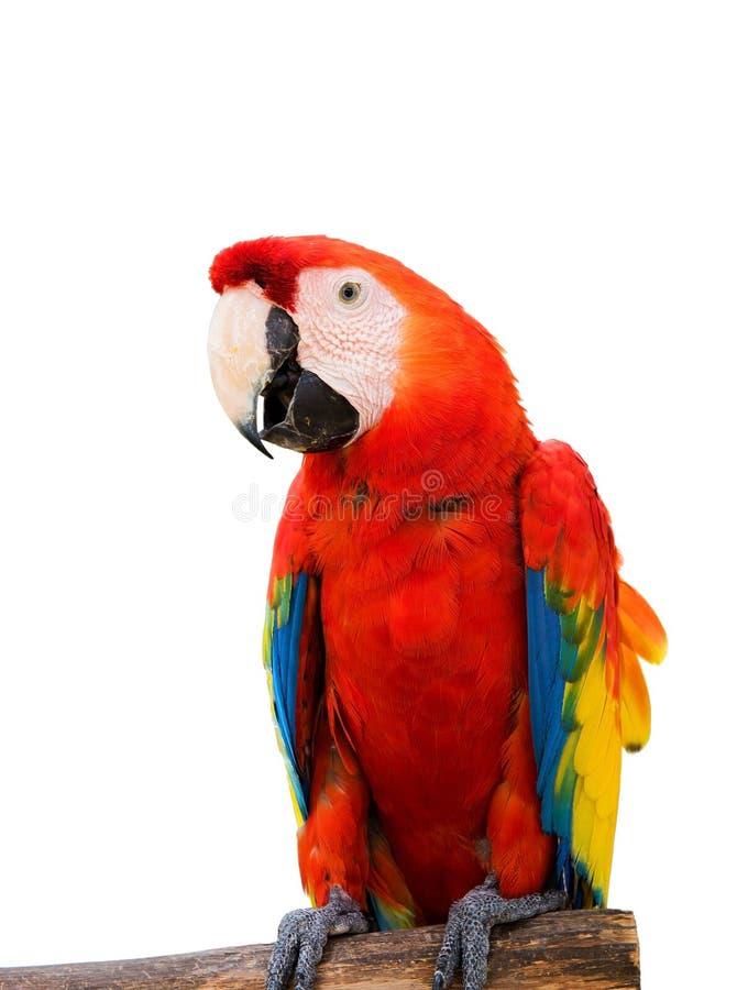 Kleurrijke die aravogels, Papegaai op witte achtergrond van dossier met het Knippen van Weg wordt geïsoleerd royalty-vrije stock fotografie