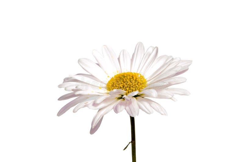 Kleurrijke die asterbloemen op witte achtergrond worden geïsoleerd royalty-vrije stock foto's