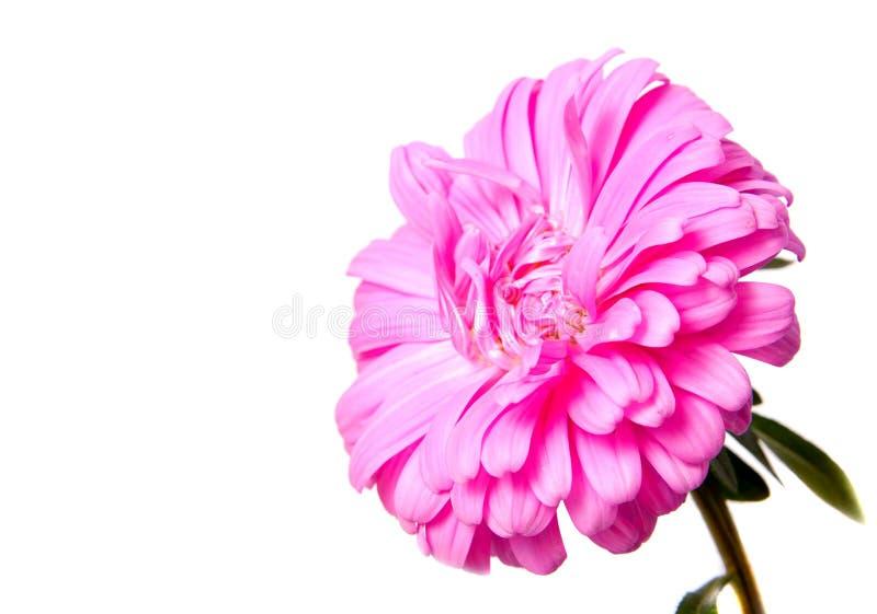 Kleurrijke die asterbloemen op witte achtergrond worden geïsoleerd royalty-vrije stock afbeelding