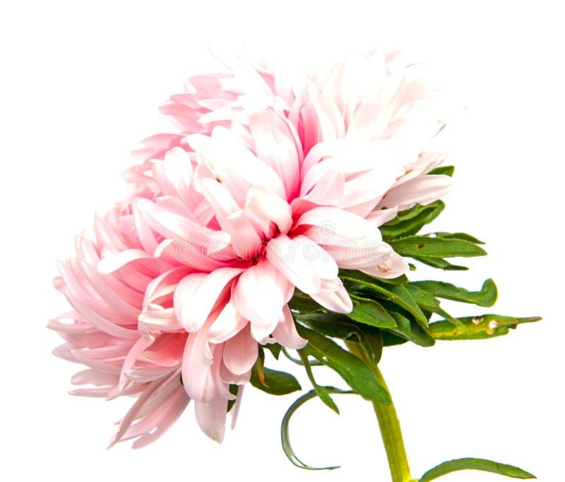 Kleurrijke die asterbloemen op witte achtergrond worden geïsoleerd royalty-vrije stock afbeeldingen