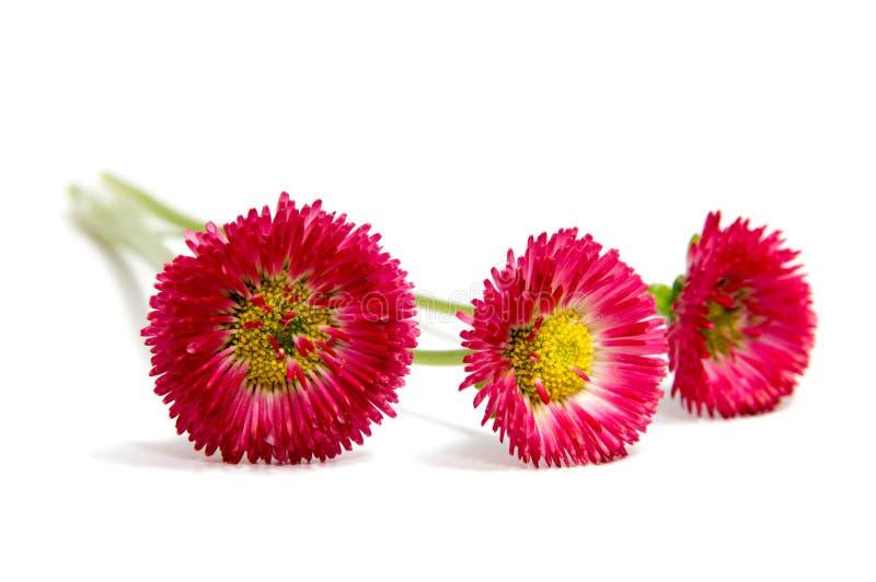 Kleurrijke die asterbloemen op witte achtergrond worden geïsoleerd stock afbeelding