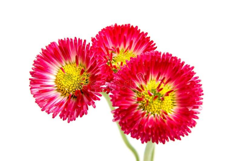 Kleurrijke die asterbloemen op witte achtergrond worden geïsoleerd royalty-vrije stock fotografie