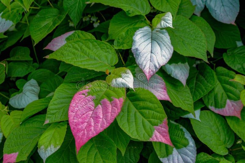 Kleurrijke die bladeren van Actinidia-kolomikta, algemeen als varieg worden bekend royalty-vrije stock foto's