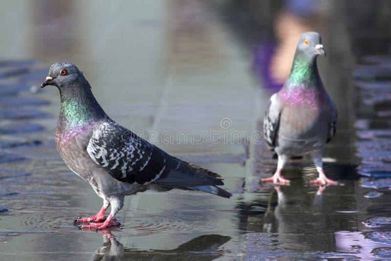 Kleurrijke duiven stock foto's