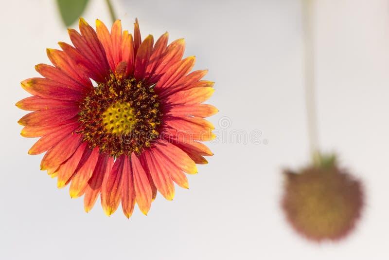 Kleurrijke echinaceabloem en knop stock afbeelding
