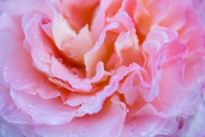 Kleurrijke enige roze nam bloem toe als achtergrond voor kaart Bloemblaadjes met waterdalingen, vage achtergrond royalty-vrije stock foto
