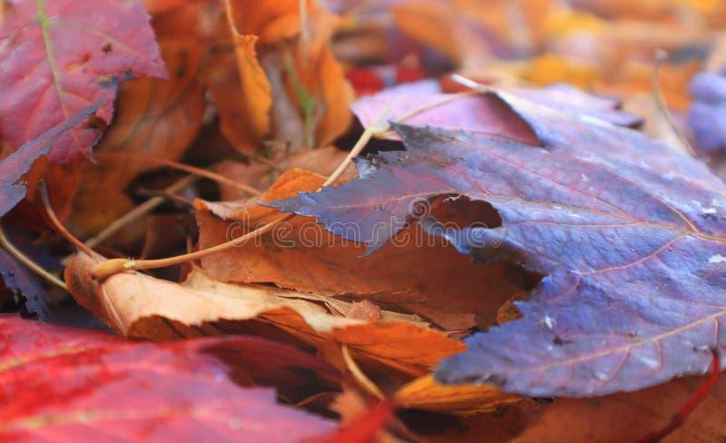 Kleurrijke esdoornbladeren na de regen in de herfst stock foto's