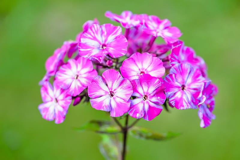Kleurrijke floxbloem op groene vage achtergrond Veelkleurige bloemblaadjes De bloem roze, fuchsiakleurig, witte kleuren van de bl royalty-vrije stock foto