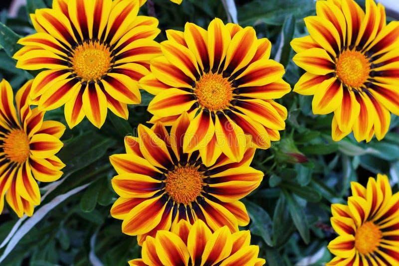 Kleurrijke Gazania-bloemen stock afbeeldingen