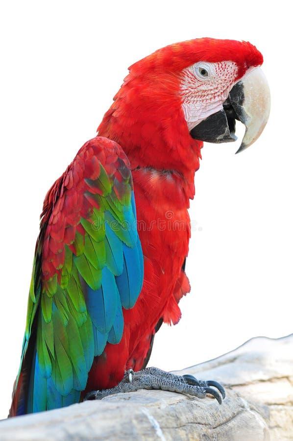 Kleurrijke geïsoleerdem papegaai royalty-vrije stock fotografie