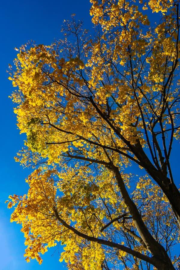 Kleurrijke gele de herfstbladeren tegen een diepe blauwe hemel royalty-vrije stock afbeelding
