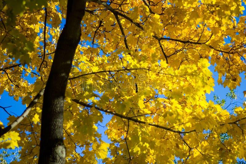 Kleurrijke gele esdoornbladeren op de boom in de herfst Kroonesdoorn op een achtergrond van zonstralen in de herfst Het close-up  royalty-vrije stock foto's