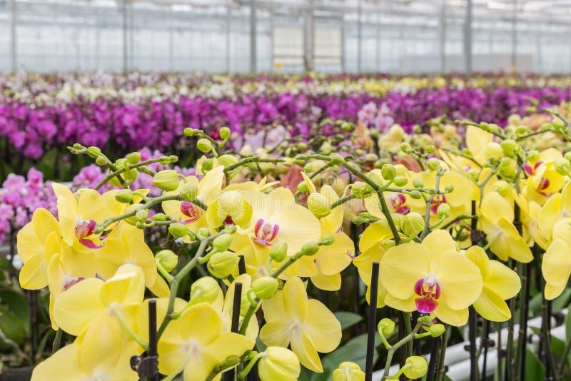 Kleurrijke gele orchideebloemen die in een serre groeien stock foto's