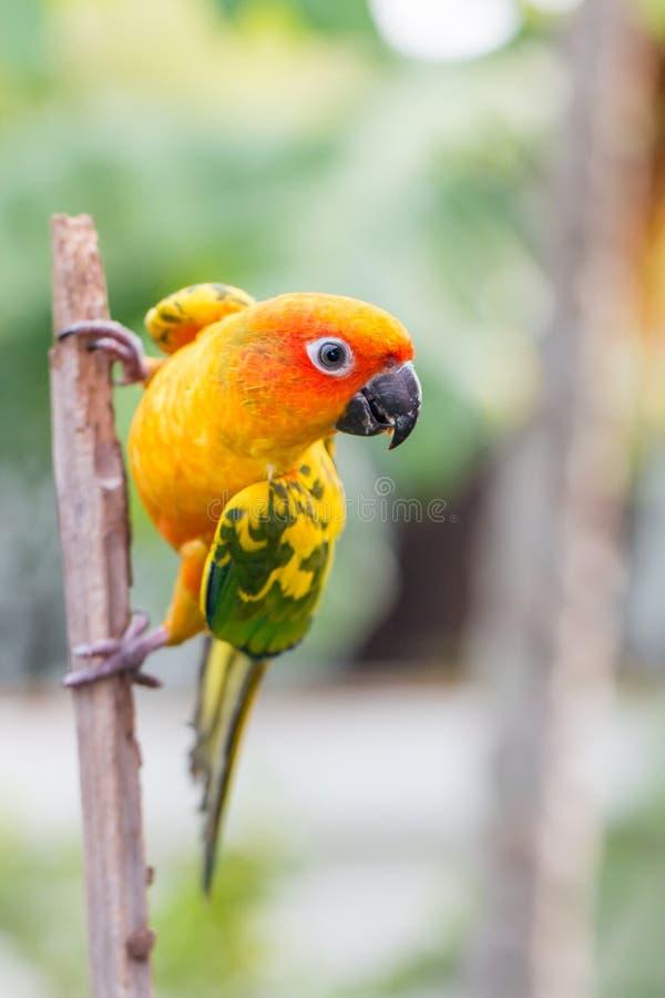 Kleurrijke gele papegaai, Zon Conure royalty-vrije stock afbeeldingen