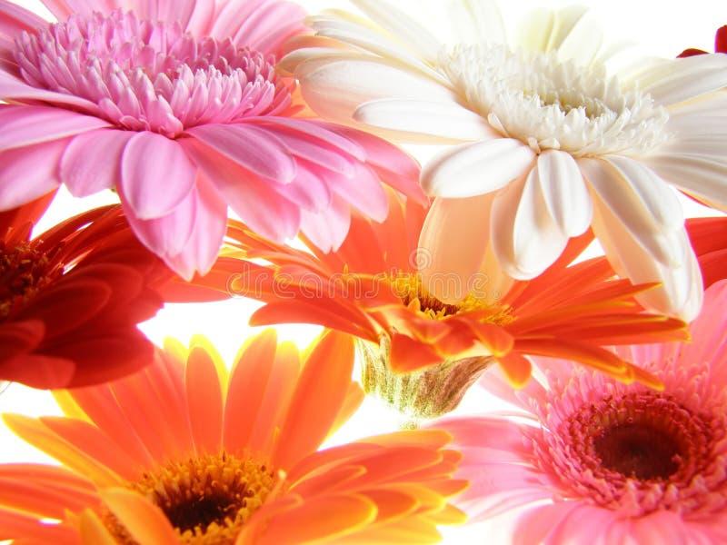 Kleurrijke gerberabloemblaadjes stock foto's