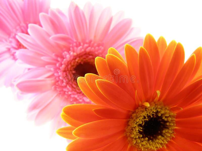 Kleurrijke gerberabloemblaadjes stock foto