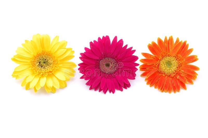 Kleurrijke gerbermadeliefjes royalty-vrije stock foto's