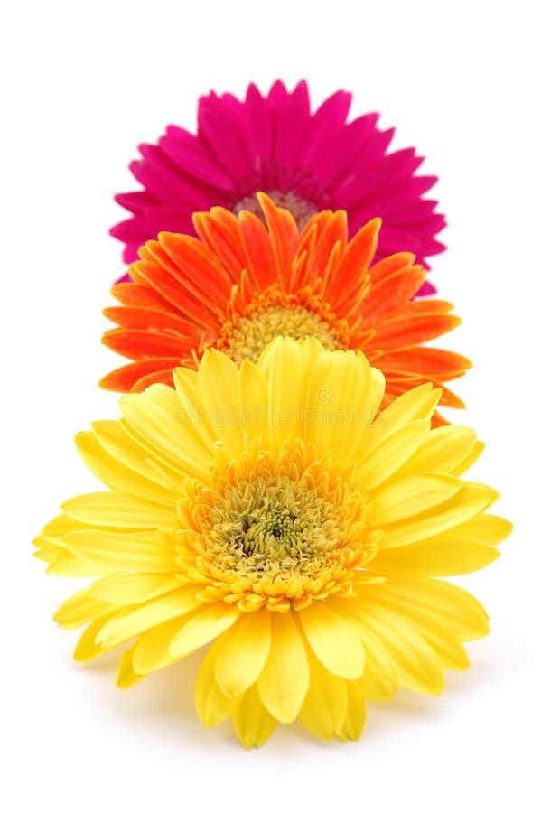 Kleurrijke gerbermadeliefjes stock foto