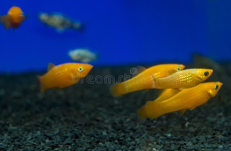 Kleurrijke Gouden, Gele het aquariumvissen van Molly Poecilia sphenops royalty-vrije stock afbeeldingen
