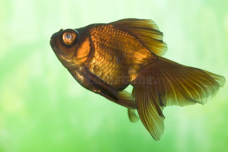 Kleurrijke goudvis stock foto