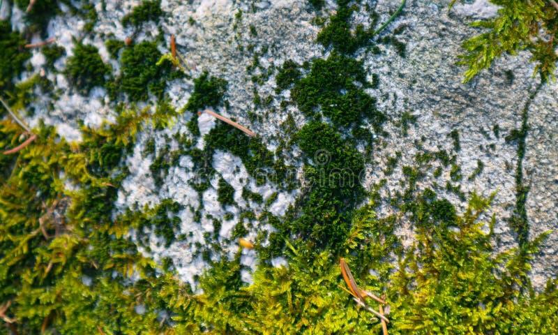 Kleurrijke groene mostextuur Foto die een heldere dichtbegroeide lich afschilderen stock foto's