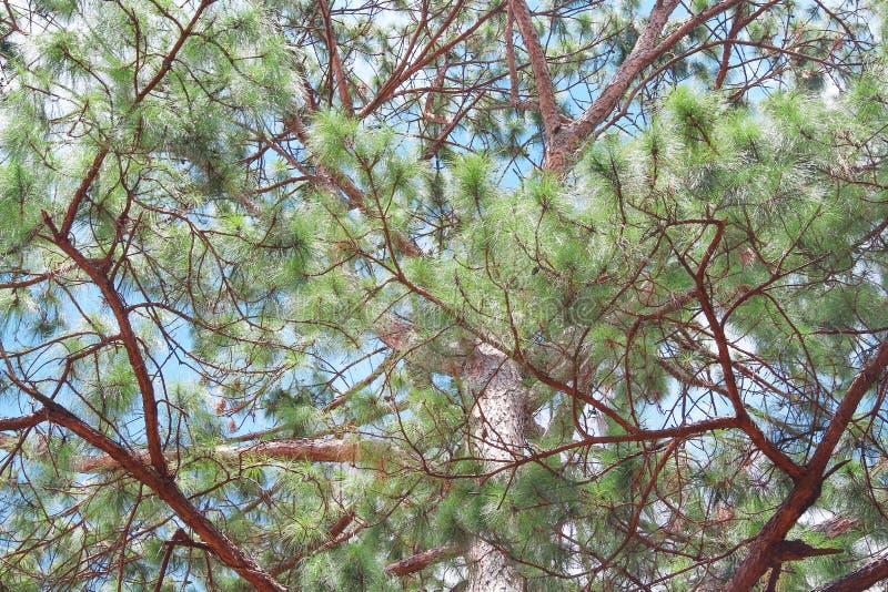 Kleurrijke groene pijnboomboom op blauwe hemelachtergrond stock afbeelding