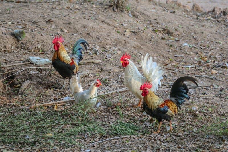 Kleurrijke hanen in de binnenplaats van landbouwbedrijf stock foto
