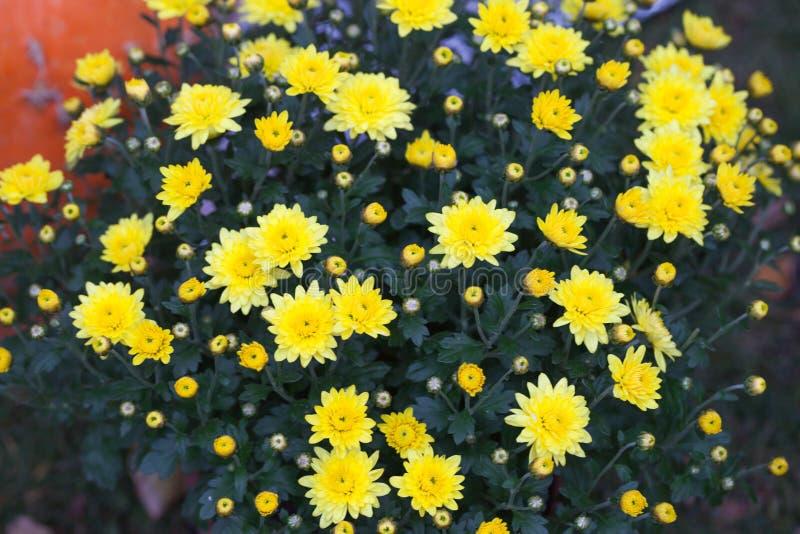 Kleurrijke herfstchrysant Tot bloei komende bloemen Mumsbloemen Dalingsbloemen stock afbeeldingen