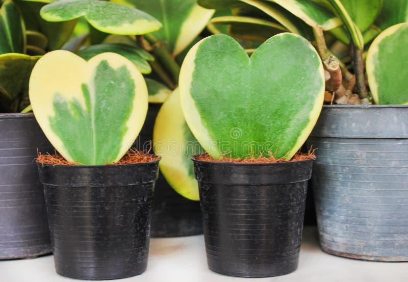 Kleurrijke hoya van het bloemenliefje natuurlijke patronen, Potten sierplant of Hoya kerrii Craib in zwarte pot met kokosvezel royalty-vrije stock afbeeldingen
