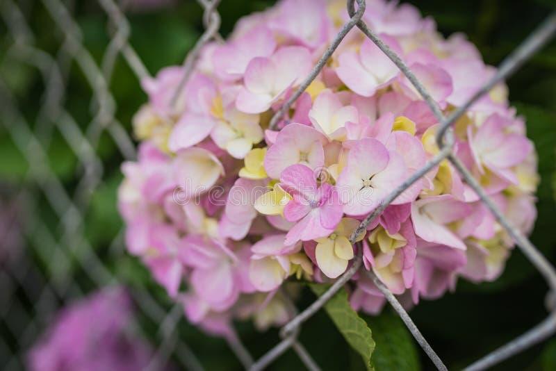 Kleurrijke Hydrangea hortensia's achter Verbindingsomheining royalty-vrije stock afbeeldingen